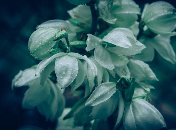 Yuka Çiçeği